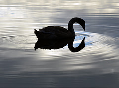 Tranquility.  The Swan
