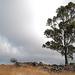Thirsty Land Poetry, Penedos, Eucalyptus