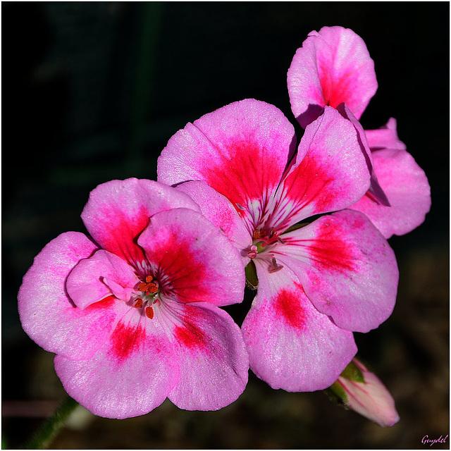 She's no longer alone ! La fleur de géranium n'est plus seule !
