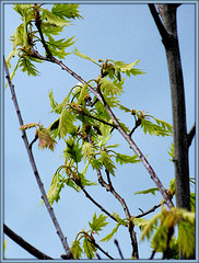 New Leaves in Flight (color)