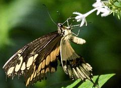 Wildes Flügelschlagen (Schwalbenschwanz)