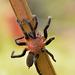 Tarantula Negra Naranja