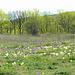 Wiesen voll mit Zwegschwertlilien (Iris Pumila).........wie lange noch?