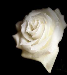 la rosa inalcanzable