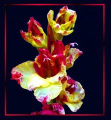 Gladiolus. ©UdoSm