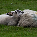Lamb of the day:  Mum as a Pillow
