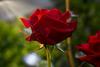 Good Morning Rose!