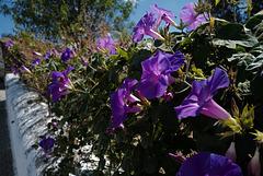Ipomoea purpurea,  Convolvulaceae