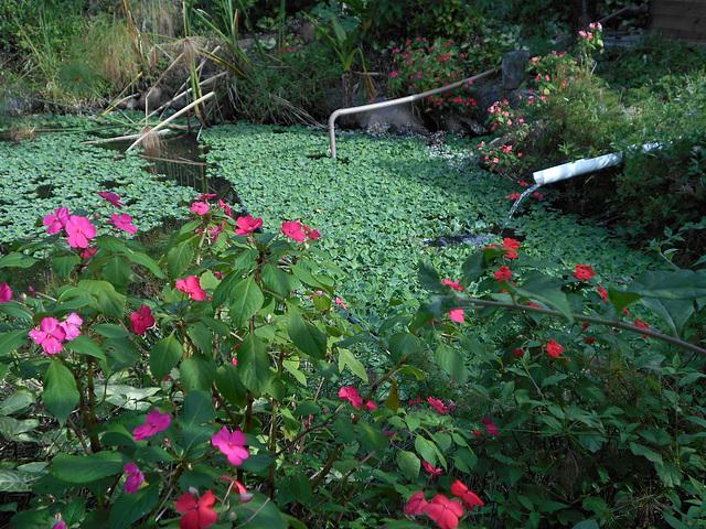 DSCN9578 - maria-sem-vergonha Impatiens walleriana, Balsaminaceae