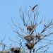 Киев, Ольгин остров, Гнездовье Серых Цапель на дереве / Kiev, Оlghin Island, Nesting area of Gray Herons on a tree