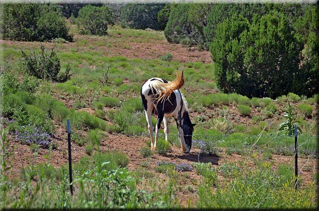 Desert Pinto