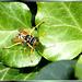 Winkende Wespe... ©UdoSm