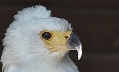 Weisskopf-Seeadler