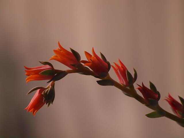 little succulent flowers