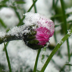 Mon jardin sous la neige