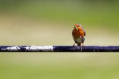 Robin Eating a Caterpillar