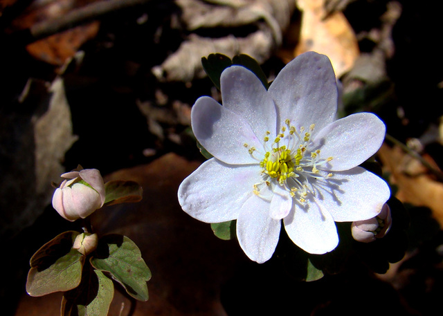 Rue Anemone Flower and Buds