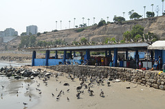Lima, Playa Agua Dulce, A Lot of Pelicans Waiting for the Fish