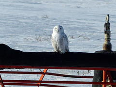 Snowy Owl number 5