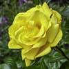 Yellow Rose with an insect