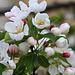 Donald Wyman crabapple blossoms