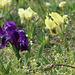Iris pumila