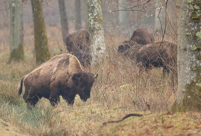 Bisons européens