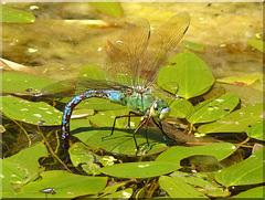 Große Königslibelle (Anax imperator) Emperor Dragonfly