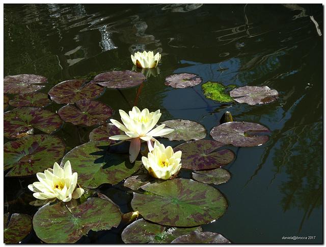 Ninfee-Water lilies