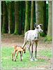 Rennes des forêts au parc zoologique de la Bourbansais à Pleugueneuc (35)