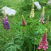 Un jardin à Ailefroide, lupins (France)
