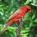 Day 6, Northern Cardinal male, southern Texas