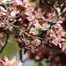 Hose sparrow in red crabapple