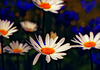 Margeriten -  Oxeye daisies - Leucanthemum