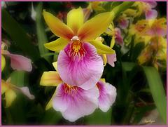 Orchidée Miltonia.........Belle journée à vous !