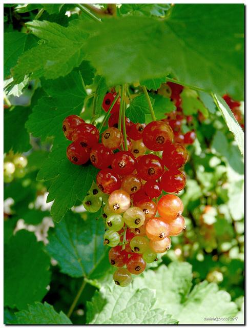 Ribes-Gooseberry
