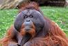 Orangutan AkA Man of the Forest.  093 copy