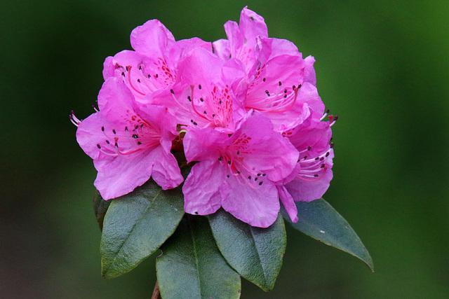 Olga Mezitt Rhododendron (Explored)