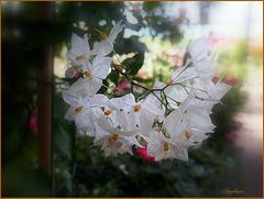 Morelle faux jasmin...............Belle journée à tous !