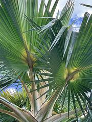 Palm in Hawaii Kai