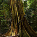 The rainforest fig