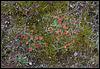 colonies de potentilles printanières
