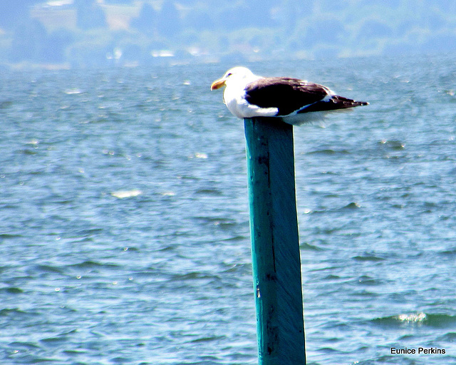 Seagull Resting.