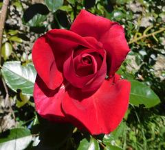 Une rose rouge pour vous...