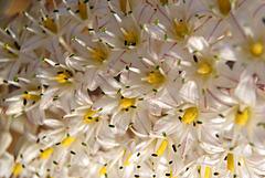 Fleurs Sauvages./8