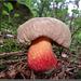Boletus purpureus (calopus ?).