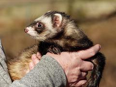 A pet 'rescue' Ferret