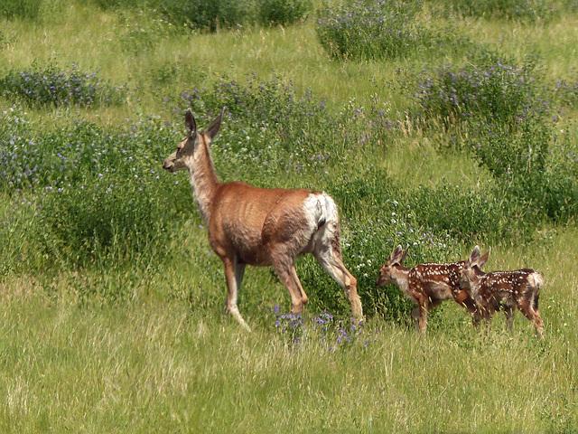 Beautiful Mule Deer family
