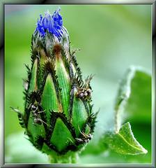 Bergflockenblume. ©UdoSm