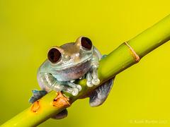 Ruby Eye Tree Frog